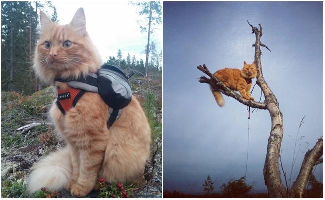 Yüzen, Kayak Yapan ve Ata Binen Dünyanın En Maceracı Kedisi Jesper'ın Hikayesi