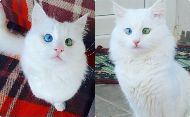 """Güzellikten Hipnoz Edecek 9 Fotoğrafla Hafif Şaşı Van Kedisi """"Aloş"""""""