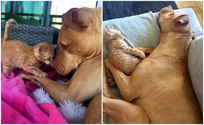 İyi Biri Tarafından Sahiplenilen Pitbull'ın Kedi Abisine Dönüşme Hikayesi