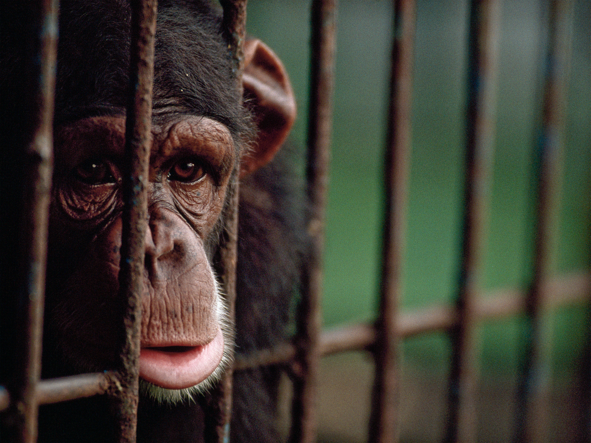 A chimpanzee sits in a cage.