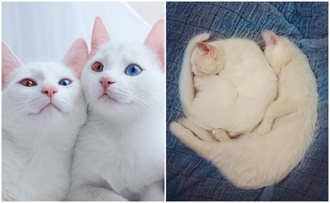 Gözlerine Hasta Olacağınız İkiz Kedilerin Hayatından 12 Büyüleyici Fotoğraf