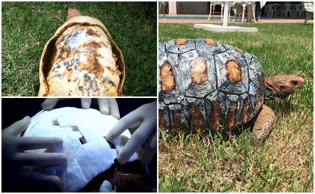 Yangında Kabuğunu Kaybeden Kaplumbağaya 3D Yazıcıyla Kabuk Yapan Güzel Kalpli Bilim Adamları