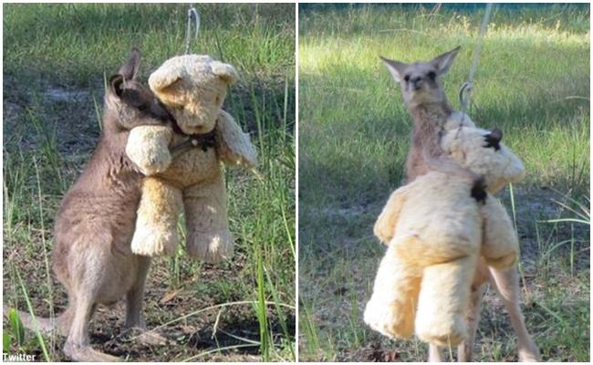 Hayattaki Tek Sevdiği Oyuncak Ayısı Olan Öksüz Kangurunun Hikayesi