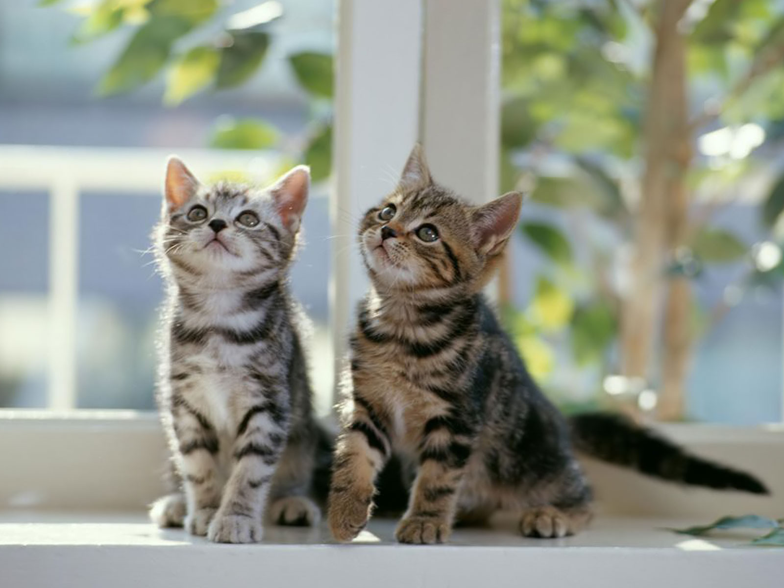 kedi yasi
