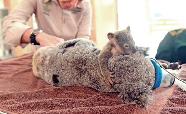 Araba Çarpan Annesine Sarılarak Onu Ameliyatta Bile Yalnız Bırakmayan Bebek Koala