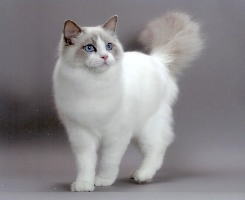 kedi-cinsi-patiliyo-2