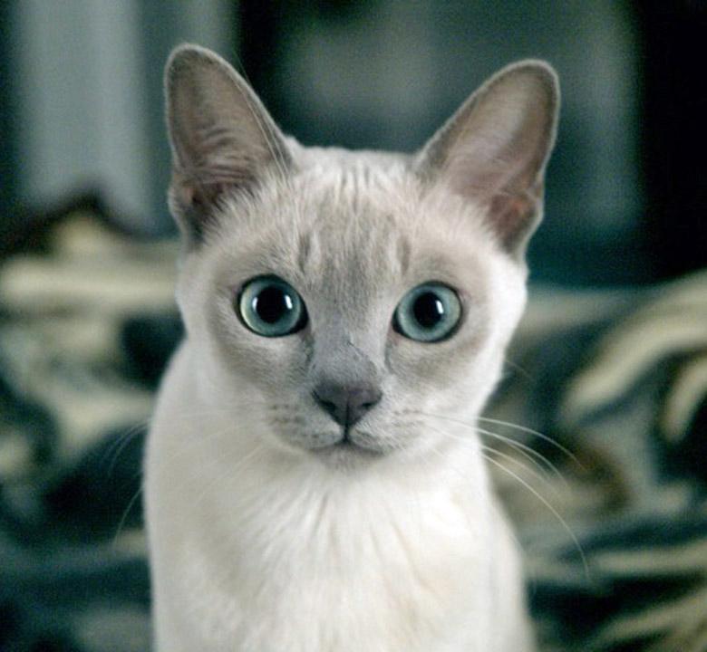 kedi-cinsi-patiliyo-3