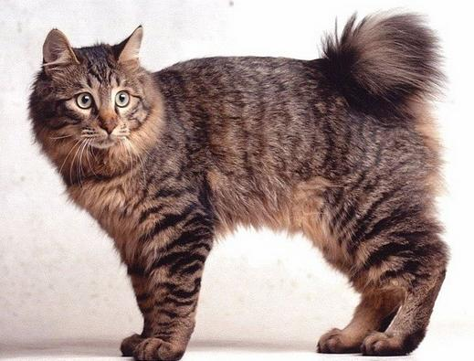 kedi-cinsi-patiliyo-6
