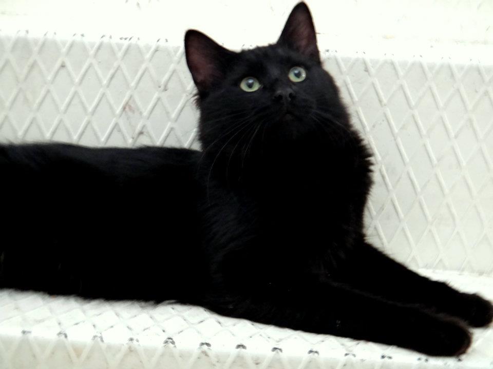 kedi-cinsi-patiliyo-7