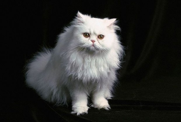 kedi-cinsi-patiliyo-9