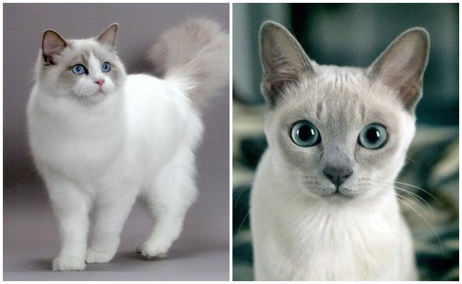 Sahibinin Peşini Bırakmayan 9 Kedi Cinsi