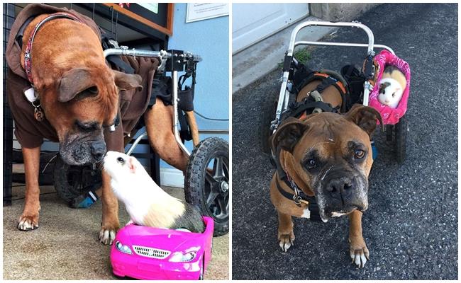 Yaşlı Köpek ve Kadim Dostu Gine Domuzunun Kalpleri Isıtacak Dostluk Hikayesi