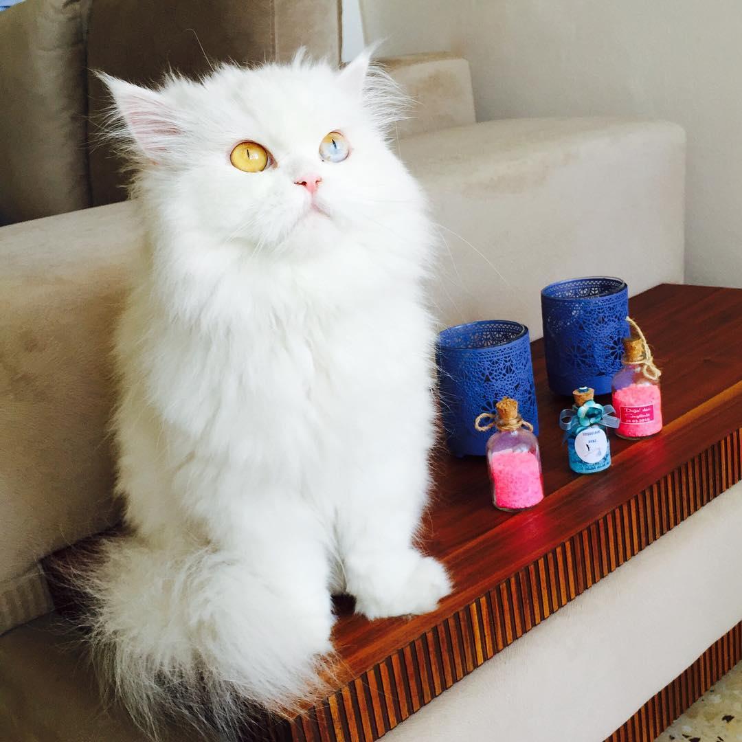 cici kedi