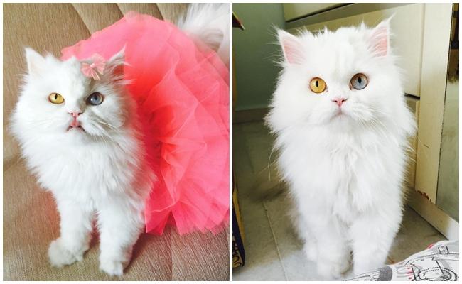 """Gözlerine Baktığınızda Kalbinizin Hüpleyeceği Kedi """"Cici"""" ve 9 Harika Fotoğrafı"""