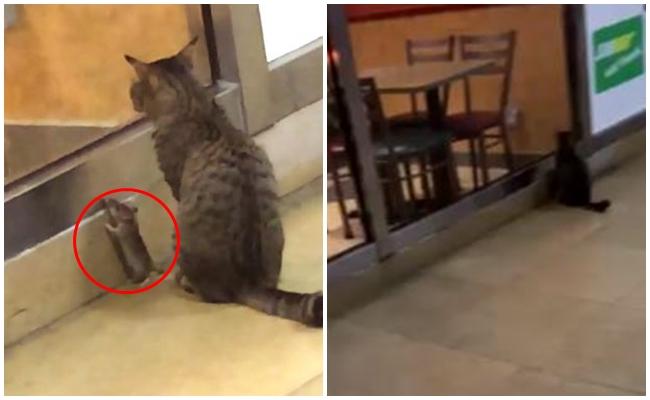 Ton Balığı Restoranına Gizlice Girmeye Çalışan Kediyle Fare Kankalar