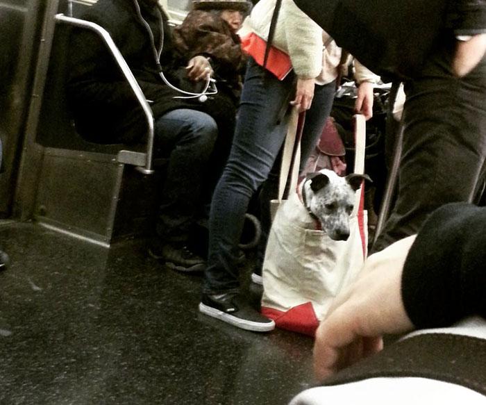 new-york-metrosu-kopekler-patiliyo-4