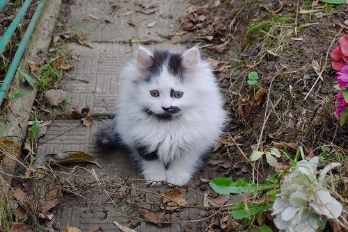 oksuz yavru kedi