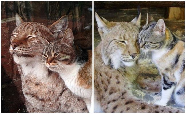 Hayvanat Bahçesindeki Vahşi Vaşağa Aşık Olan Sokak Kedisinin Kalpleri Miyavlatacak Hikayesi