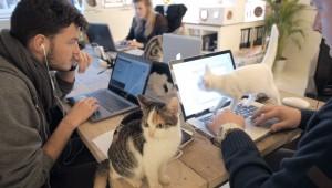 biroja-kaķi