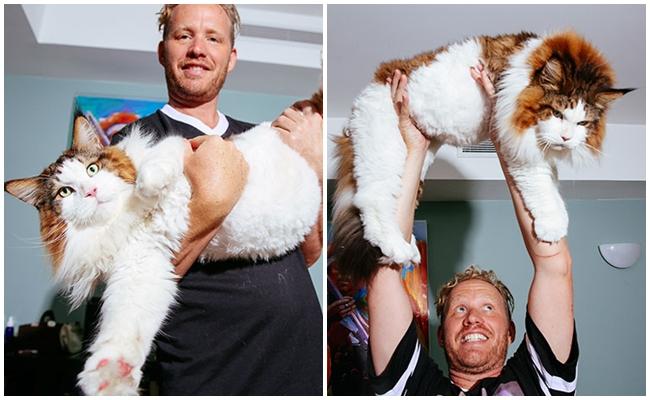 Tam 13 Kilo Ağırlığındaki New York'un En Büyük Kedisinin Aşırı Geniş Hayatı