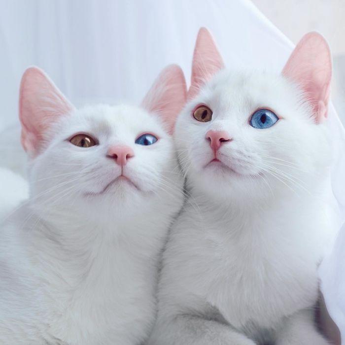 dunyanin-en-guzel-kedileri-patiliyo-2