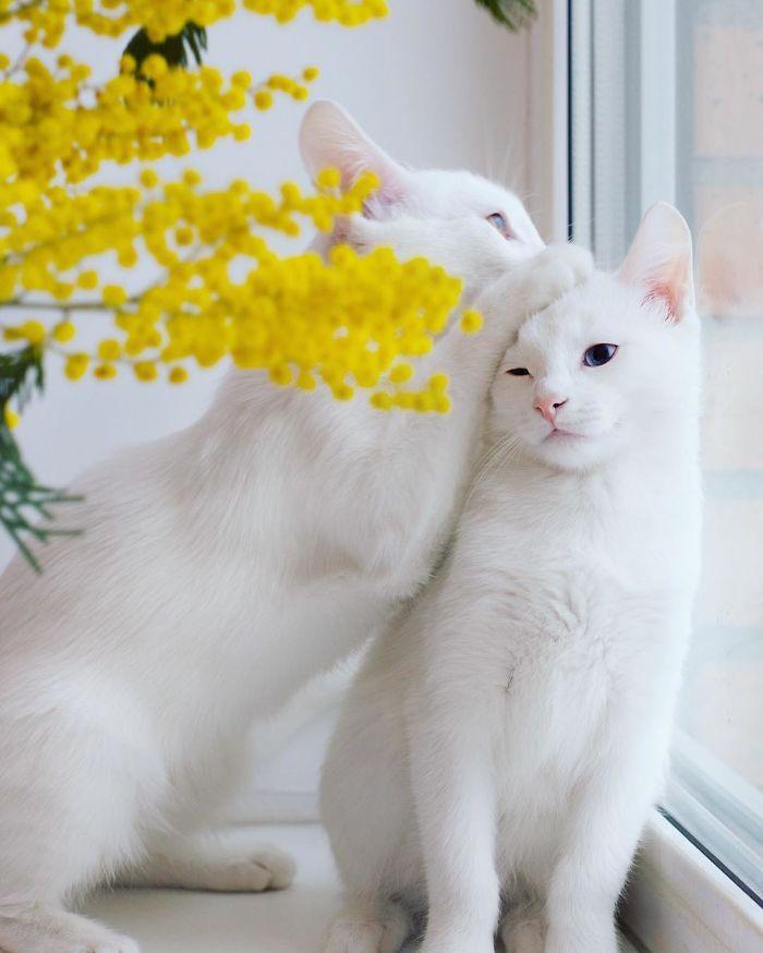 dunyanin-en-guzel-kedileri-patiliyo-4