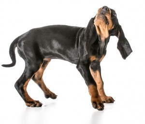 worried dog - black and tan coonhound with scared expression