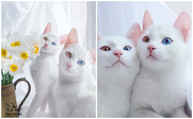 Dünya Üzerindeki En Güzel İkiz Kedilerin Kalpleri Küt Küt Miyavlatacak Hayatı