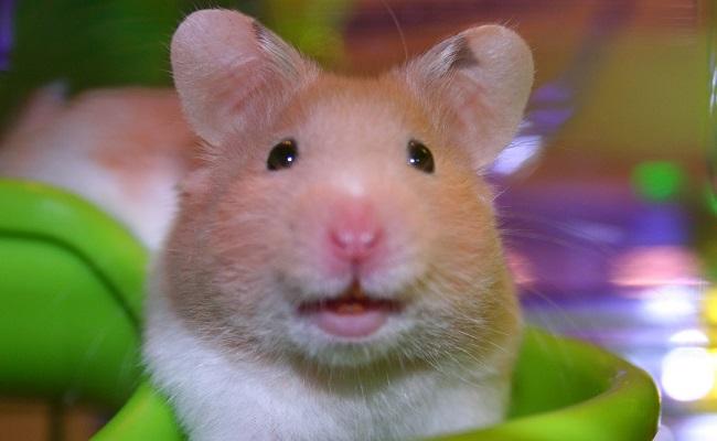 Evde Hamster Beslemenin Çok İyi Bir Fikir Olduğunun 9 Sebebi