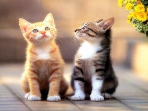 iki_kedi