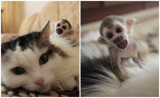 Terk Edilmiş Bebek Maymunu Evlat Edinen Anne Kedinin Üzücü Sonlu Hikayesi
