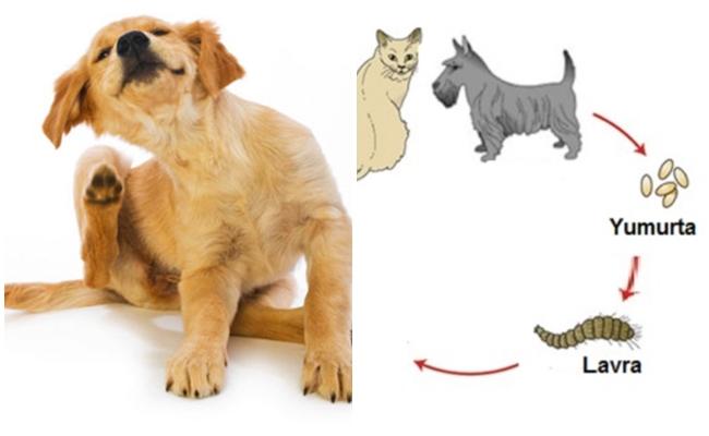 Köpeğinizi ve Evinizi Pirelerden Uzak Tutmanın 10 Yolu