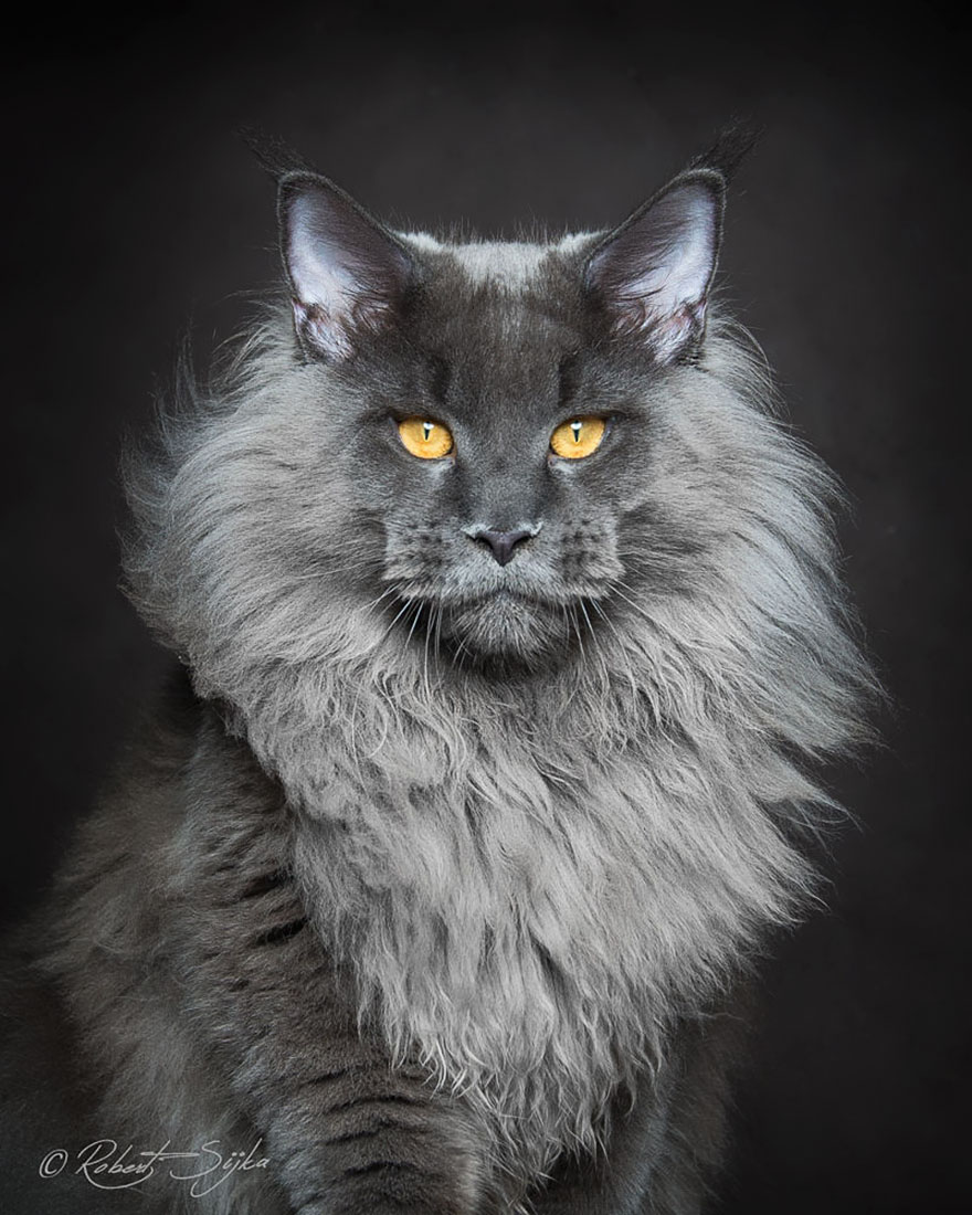 maine-coon-patiliyo-1