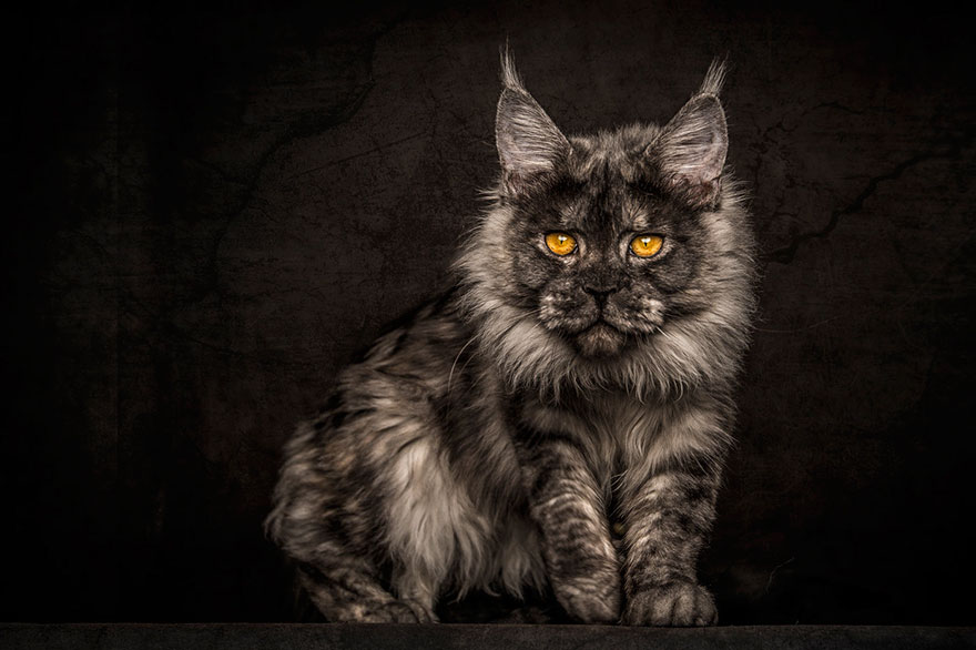 maine-coon-patiliyo-10