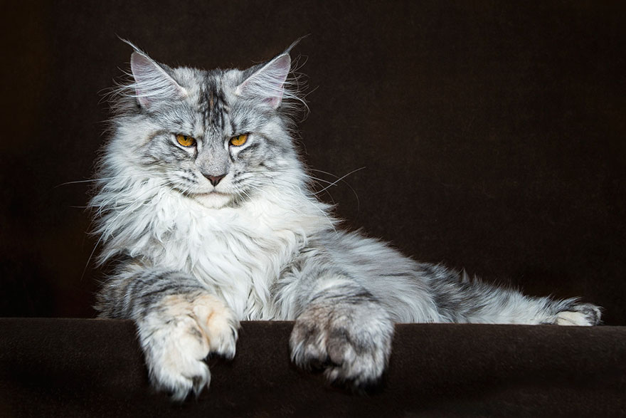 maine-coon-patiliyo-13
