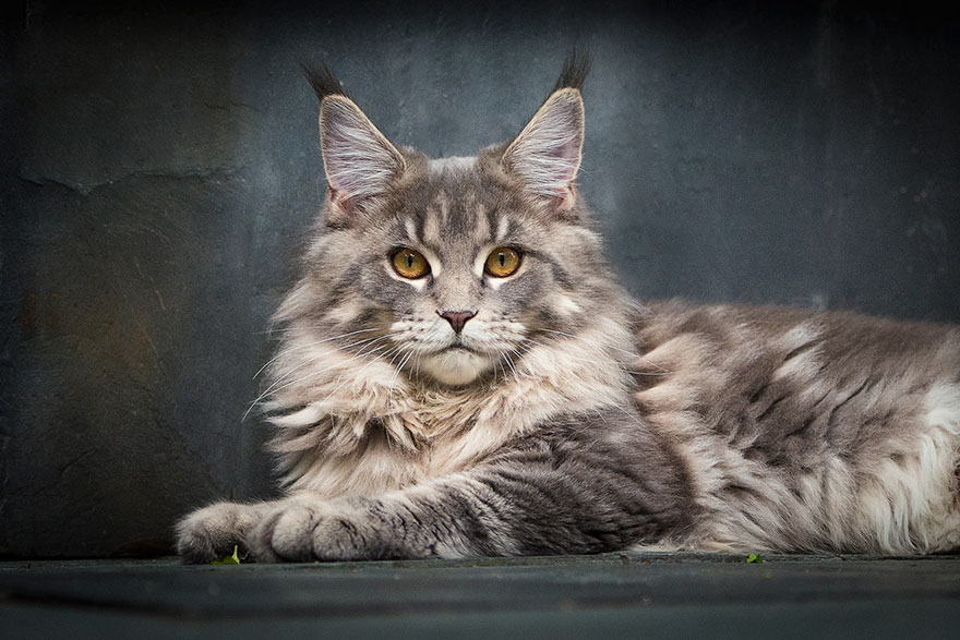maine-coon-patiliyo-17
