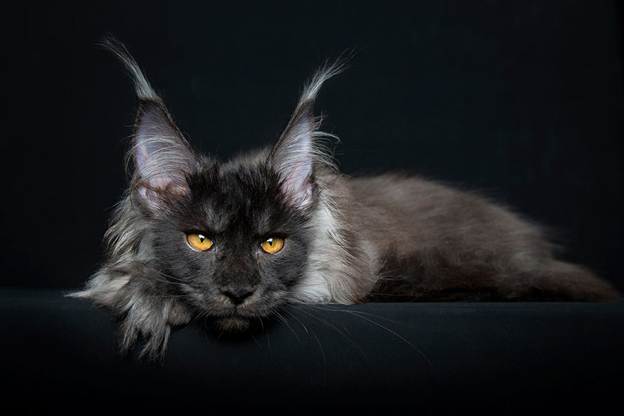 maine-coon-patiliyo-18