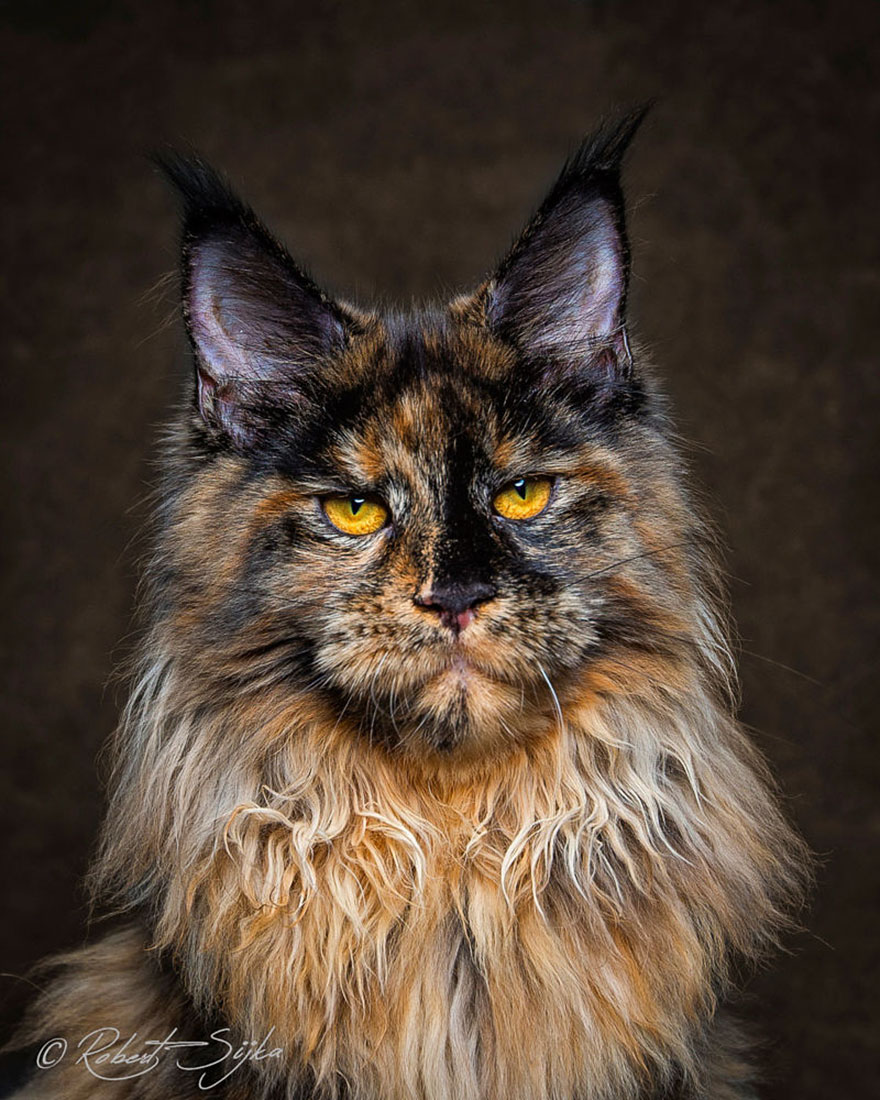maine-coon-patiliyo-19