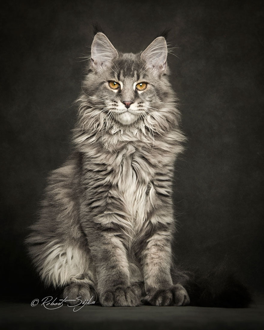 maine-coon-patiliyo-20