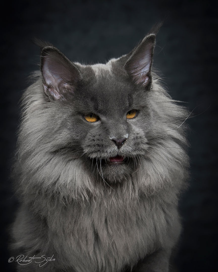 maine coon kedi