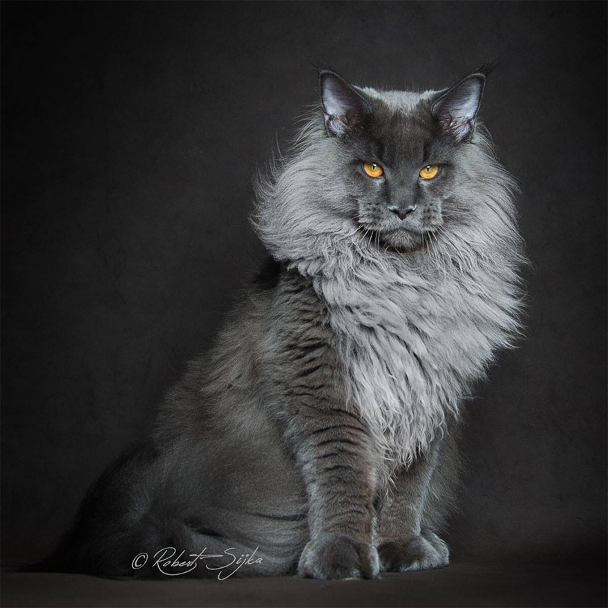 maine-coon-patiliyo-5