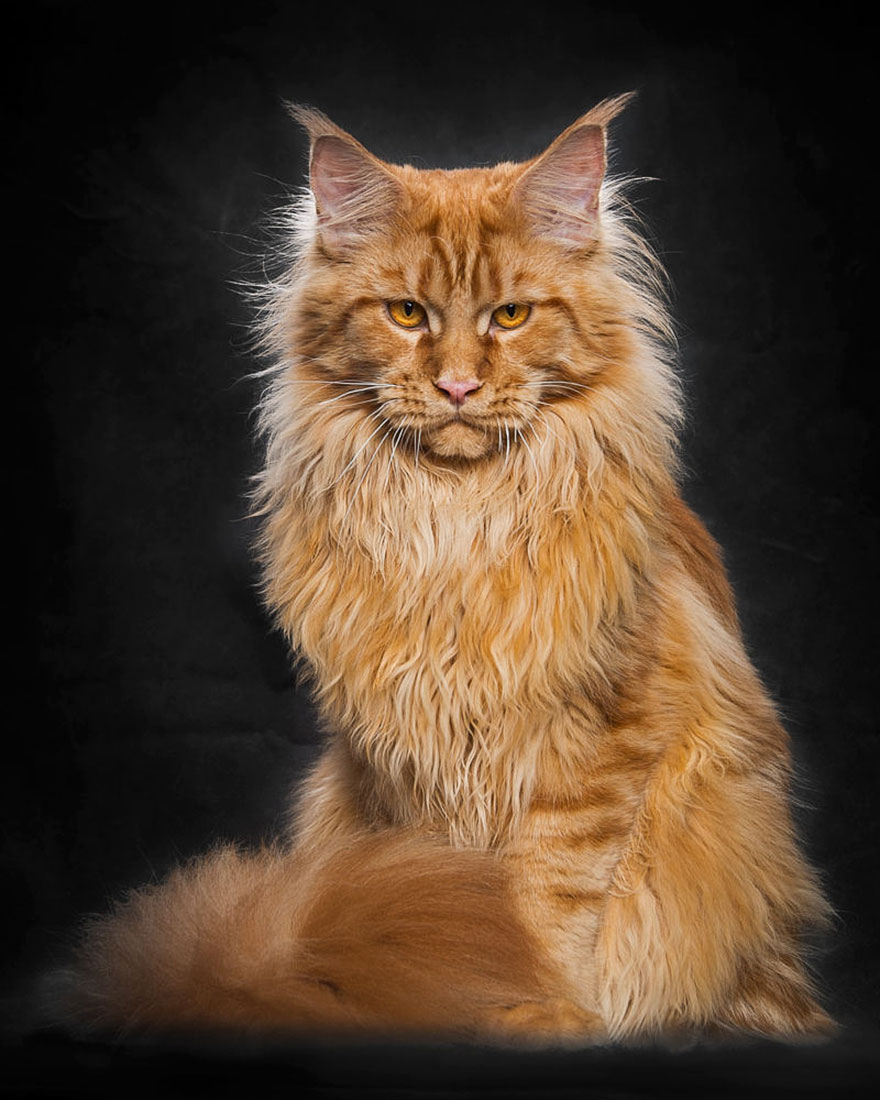 maine-coon-patiliyo-9