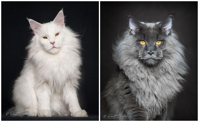 Muhteşem Güzellik: Dünyanın En Büyük Evcil Kedi Cinsini Fotoğraflayan Büyüleyici Proje