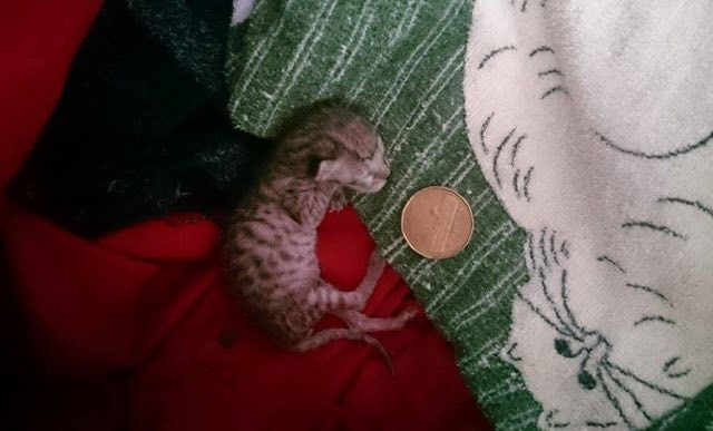 yeni dogmus yavru kedi