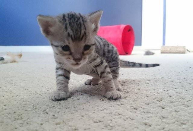 yeni-dogmus-yavru-kedi-patiliyo-8