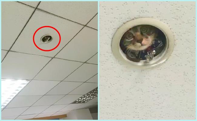Ofiste Çalışanları Tavandan Ajan Gibi Dikizleyen Meraklı Kedi