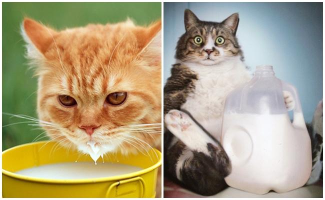 Öğrenelim: Kedilere Süt Vermek Yanlış Bir Hareket midir?