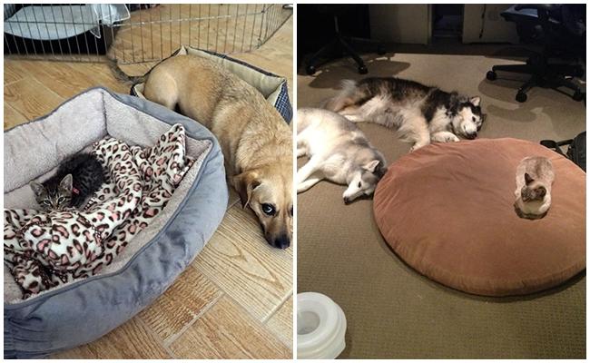 Köpeklerin Yataklarına Çöküp Onları Sinir Eden 21 Paşa Gönüllü Kedi