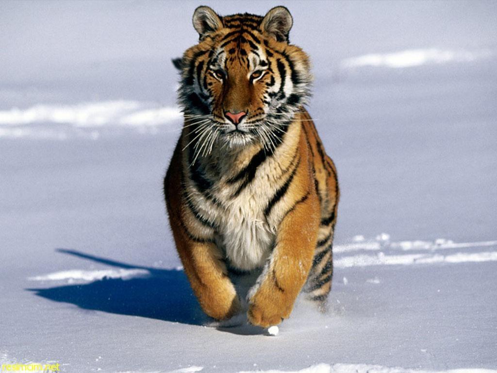 kediler-hakkinda-bilgiler-patiliyo-8