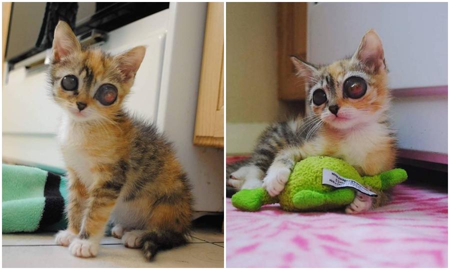 Kurbağa Gözlü Sokak Kedisi İnanılmaz Yaşam Sevinci İle Kurtarıcılarını Şaşırttı